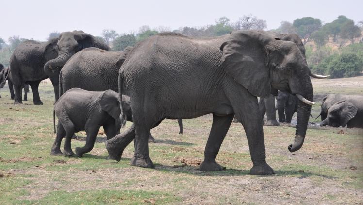 Elefanti_Parco_Chobe