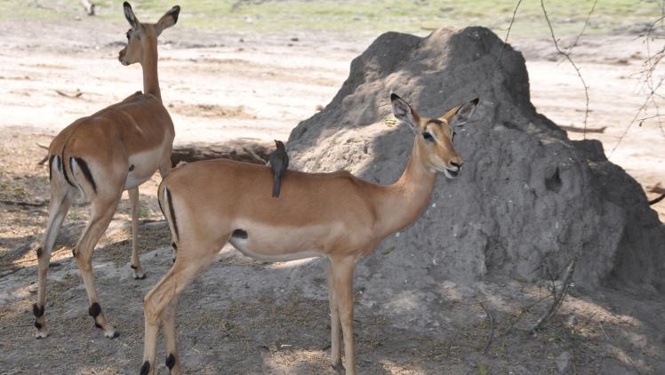 Antilopi_Parco_Chobe