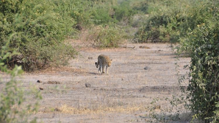 Leopardo_Parco_Chobe