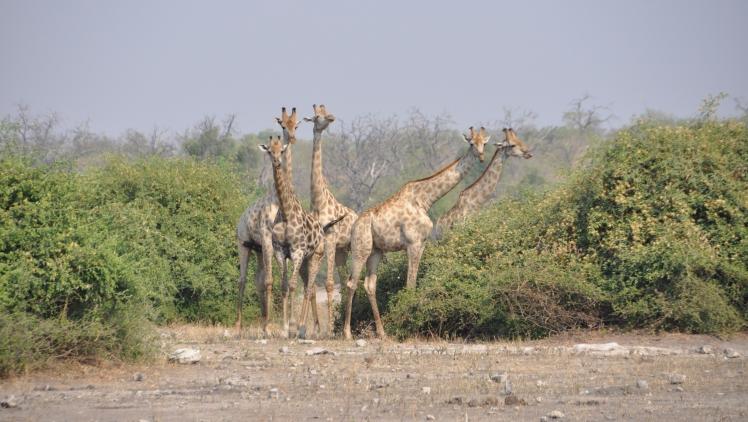 Giraffe_Parco_Chobe