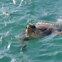 Tartaruga naxos